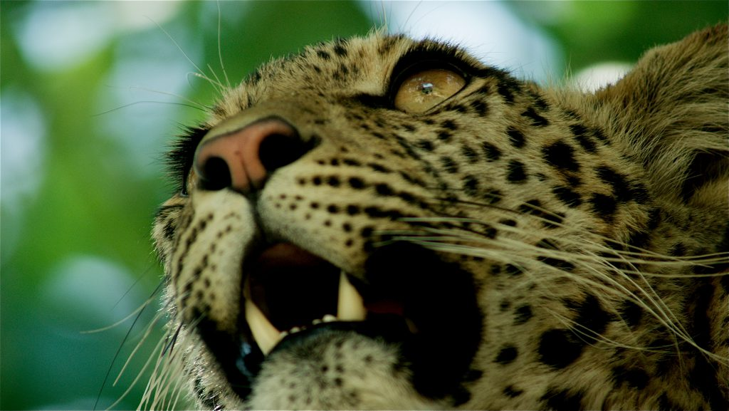 Africa's Fishing Leopards