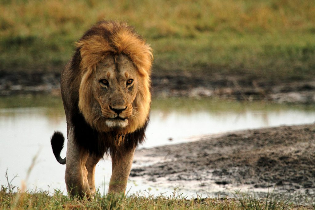 Return of the Giant Killers - Africa's Lion Kings