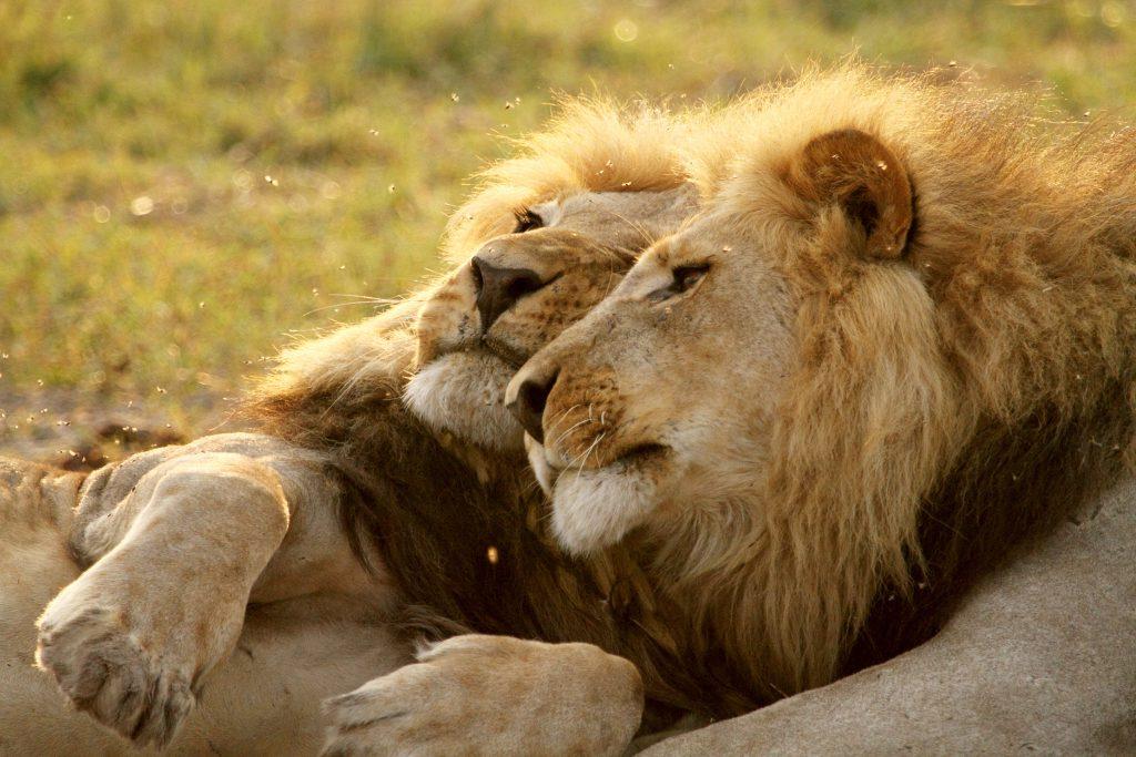 Return of the Giant Killers - Africa's Lion Kings