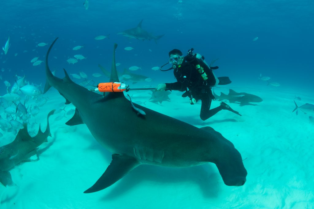 Great Hammerhead Invasion