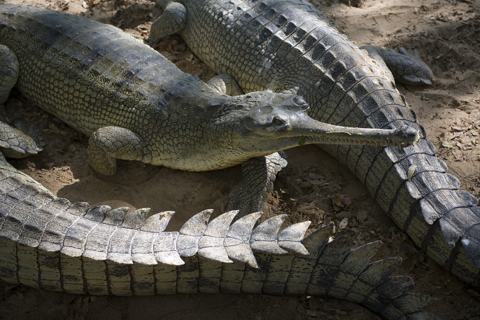 Crocodile Blues